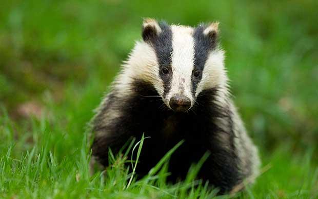 للانستقرام badger-animal-4.jpg