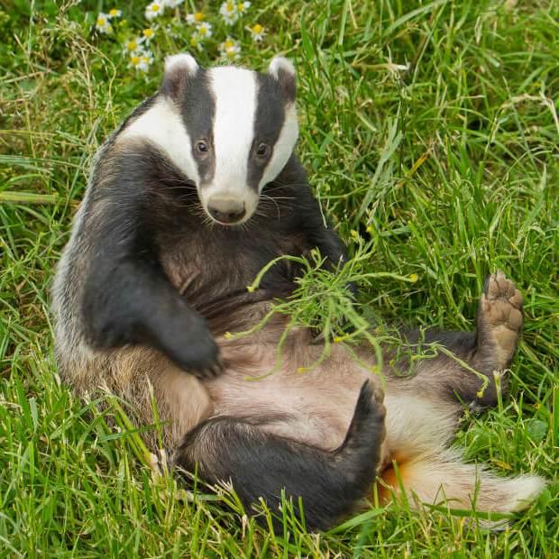 للانستقرام badger-animal-5.jpg