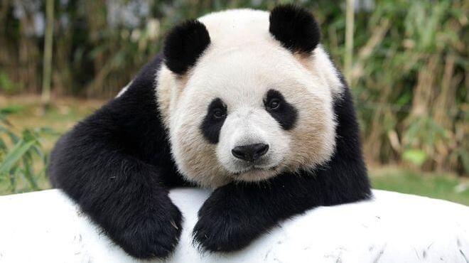 للانستقرام Cute-Panda-7.jpg