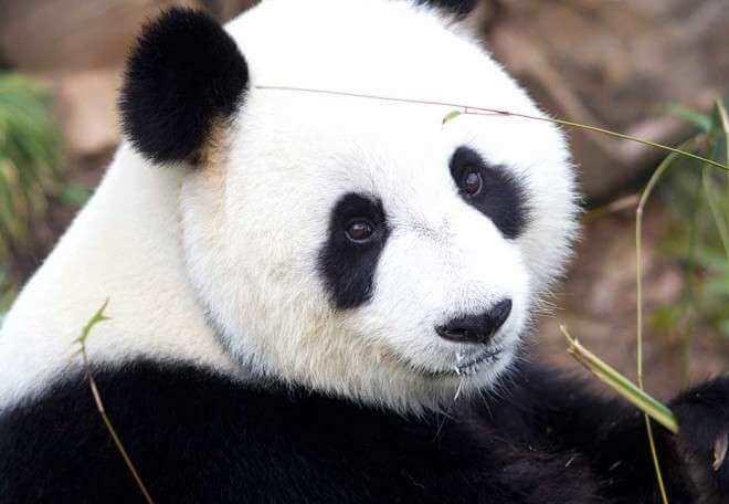 للانستقرام Cute-Panda-8.jpg