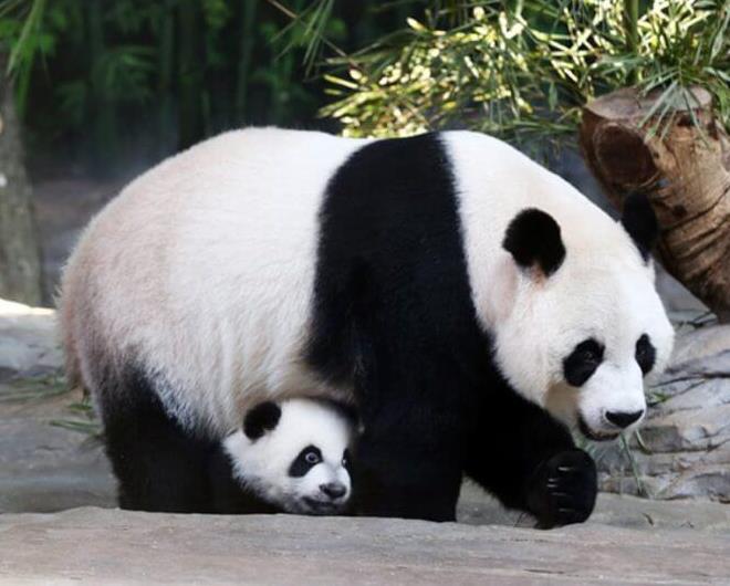للانستقرام Cute-Panda-9.jpg