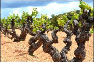 Viñas de monastrell en Bodegas Mustiguillo