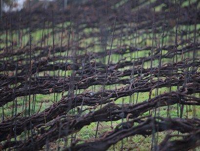 Trenzado de viñas