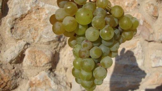 racimo de uvas merseguera