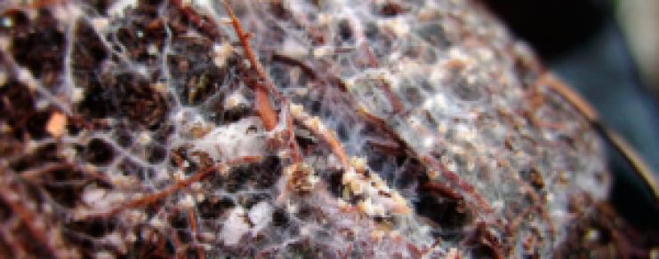Mycorhizes Micorrizas