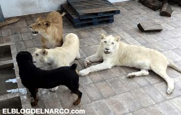 Tenia tres grandes leones viviendo en su azotea con un perro como amigo
