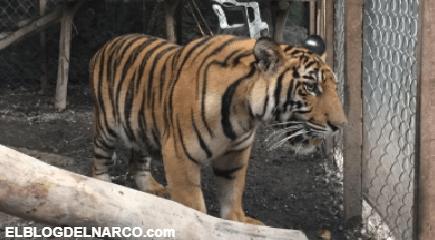 Le aseguran a la Familia Michoacana armas, droga ¡un tigre y un lagarto!
