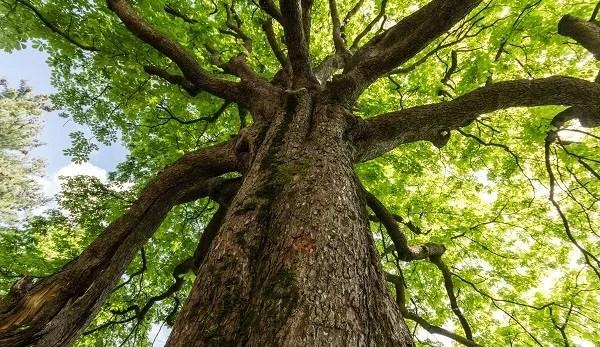 clasificación de árboles