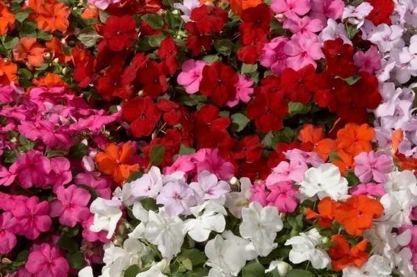 cuales-son-las-flores-del-verano-alegria-de-la-casa