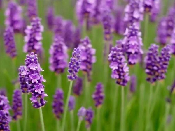 cuales-son-las-flores-del-verano-lavanda