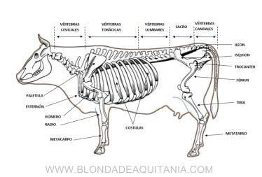 Esqueleto vaca