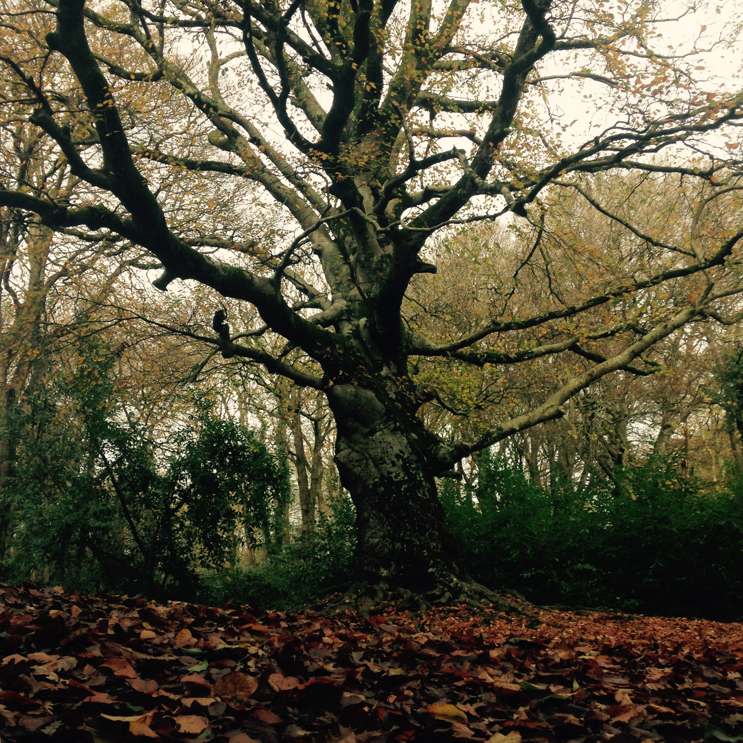 Love how this ancient Beech tree twists like a solid whirlwind