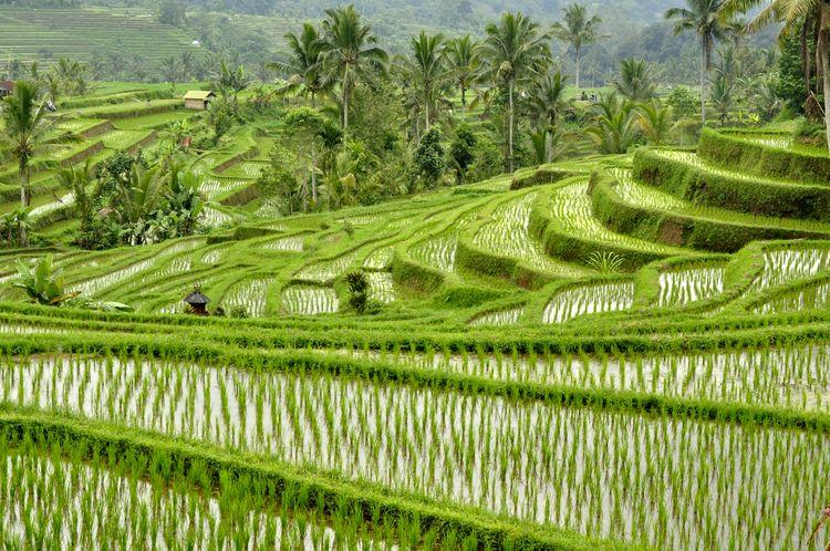 Arrozales de Jatiluwih en Bali