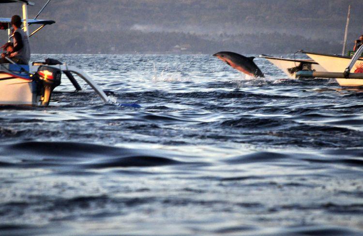 Delfines en Lovina
