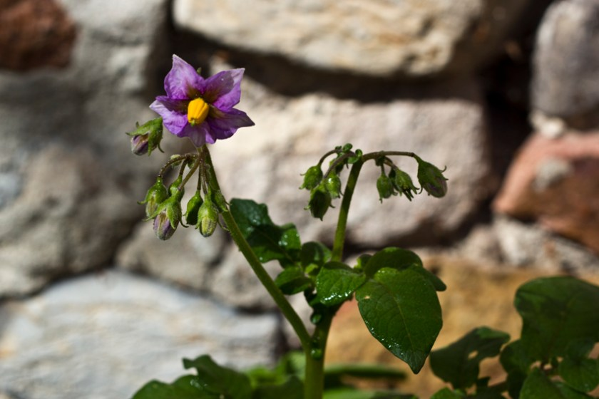 A lonely potato flower