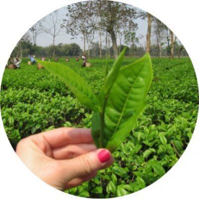 Folha de chá em viagem a Ìndia - Assam