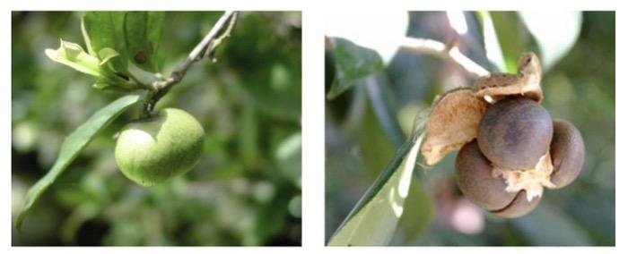 Semilla de té - camellia sinensis