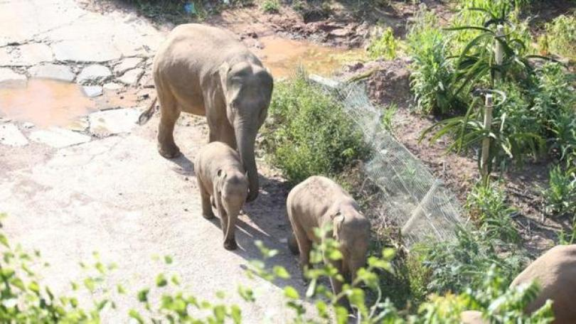 La manada camina con tres bebés elefantes. (Getty Images).
