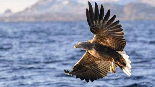 Un águila de cola blanca pescando en Noruega. (GETTY IMAGES)