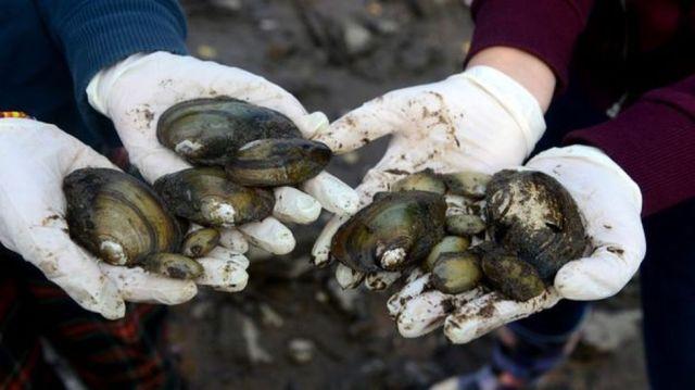 Los mejillones de río, como estos de República Checa, parecen más almejas gigantes. (GETTY IMAGES)