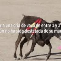 Pacma denuncia la crueldad de las becerradas en un pueblo de Toledo (VIDEO)