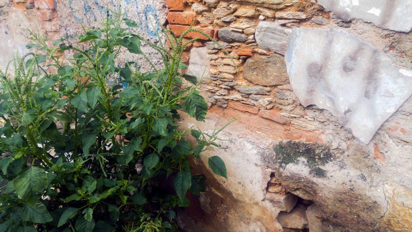 Este semicereal crece al lado de viejos muros caraqueños.
