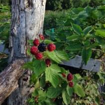 July 28 2014 blackberries