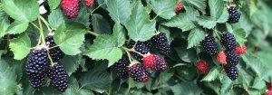 Elderslie Farm Blackberries