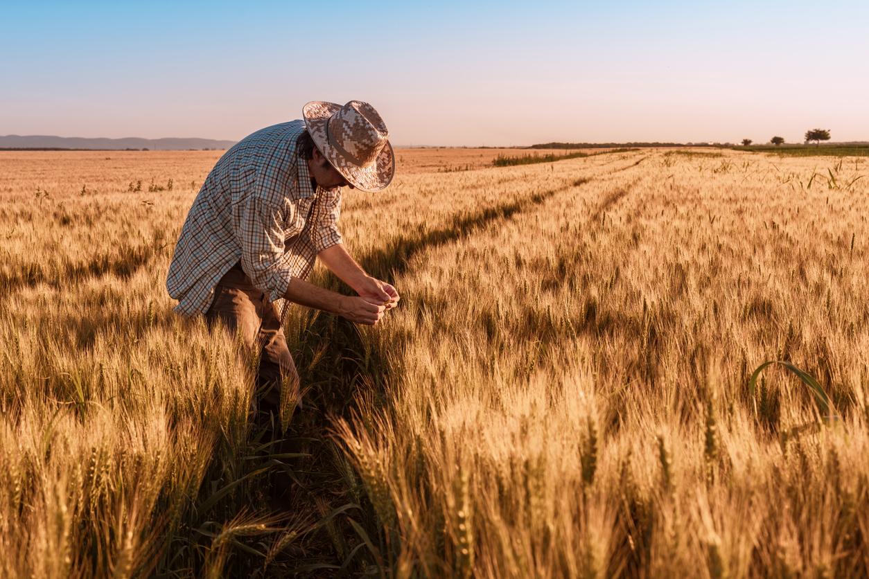 Agronomist farmer is inspecting ripening ears of wheat in field