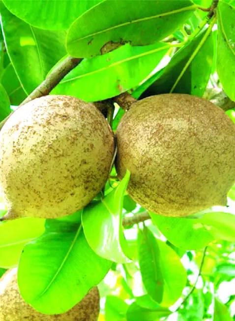 Mamey de Santo Domingo,  comestible  y maderable.