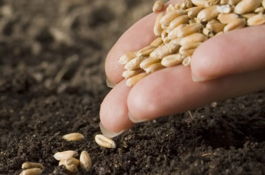 La siembra se refiere especialmente  a distribución de semillas  en campos agrícolas.