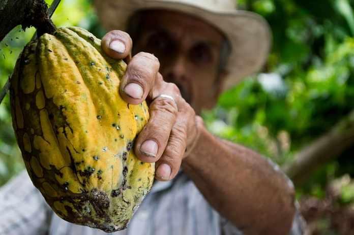 Recogiendo el cacao