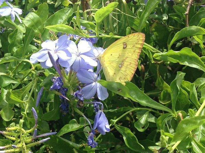 Mariposa en Camaguán