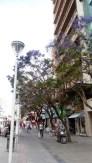 Jacarandás de la ciudad 3