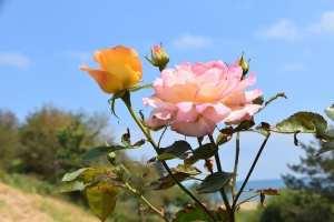 feuille de rosiers jaune