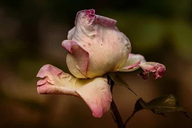 couleurs des roses