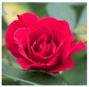 rose qui n'a pas d'épine