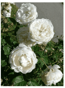 culture de rose à l'ombre