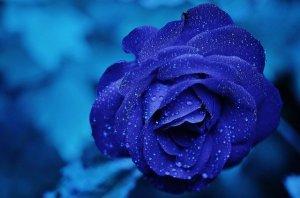 rose couleur bleue
