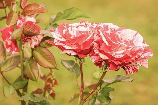 feuille jaune rosier