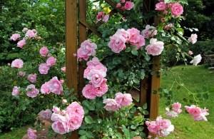 roses qui fleurissent toute l'année