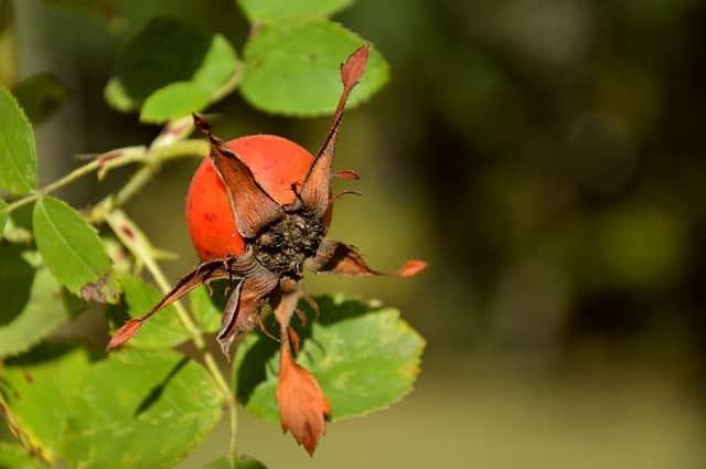 caracteristique d'une rose