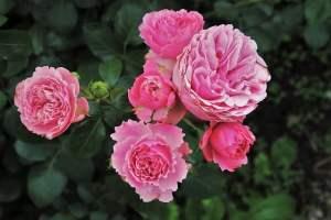 roses sans épines