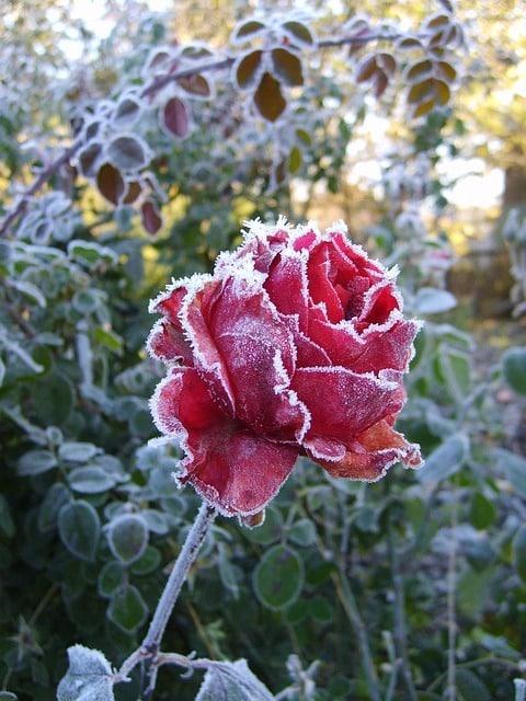 roses hiver