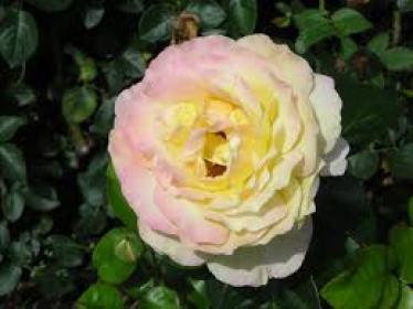 Top 40 des Plus Belles Variétés de Roses au Monde