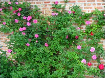 rosier à l'ombre