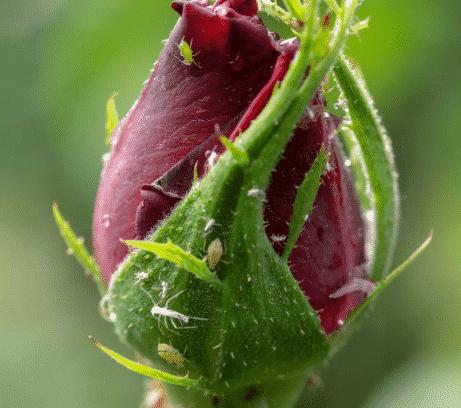 Quand Les Rosiers Fleurissent-ils