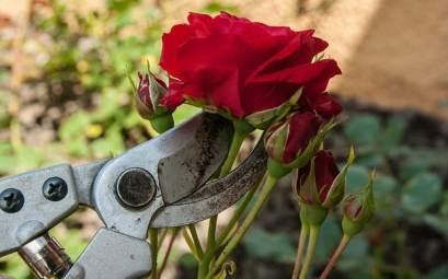 prendre soin rosiers