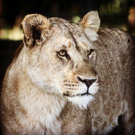 Lion at Longleat Safari Park