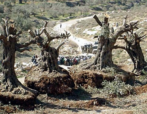 Olive Harvest Season is Ending: Suffering Continues